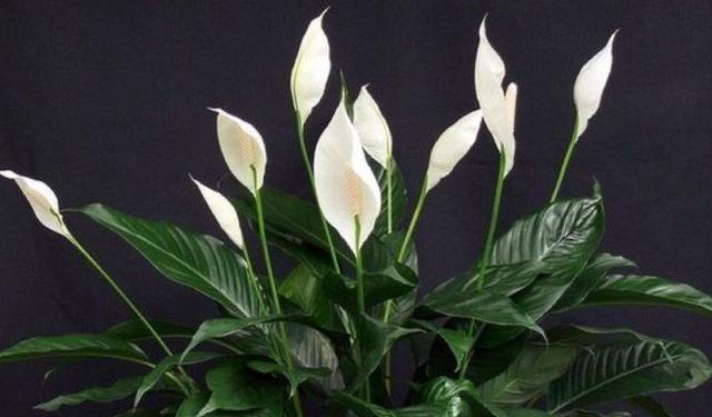 Спатифиллум – женский цветок любви!